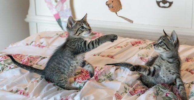 wie spielen Katzen