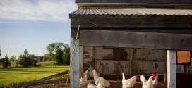Anleitung: Hühnerstall selber bauen