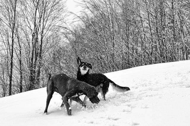 Bild Hunde im Schnee