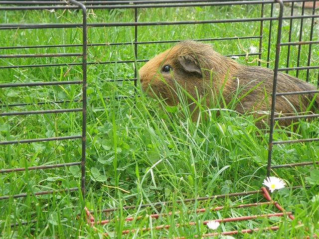Merrschweinchen im Käfig