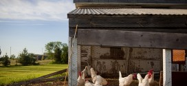 Bau eines Hühnerstalls