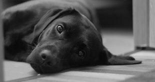 Labrador erziehen