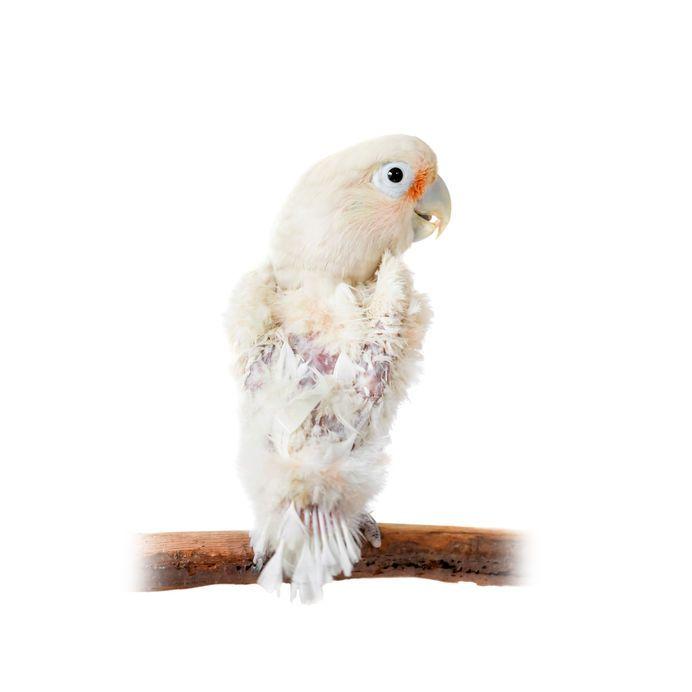 Gefiederbefall beim Vogel