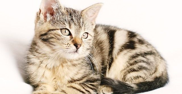 Haarausfall bei Katzen