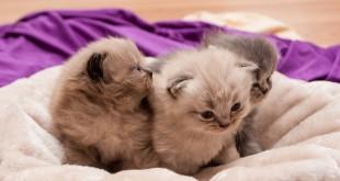 wie lange bleiben Katzenbabys bei der Mutter